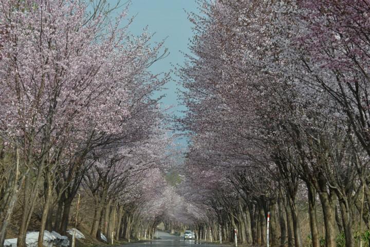 第4回 世界一の桜並木道をノルディック・ウォーク